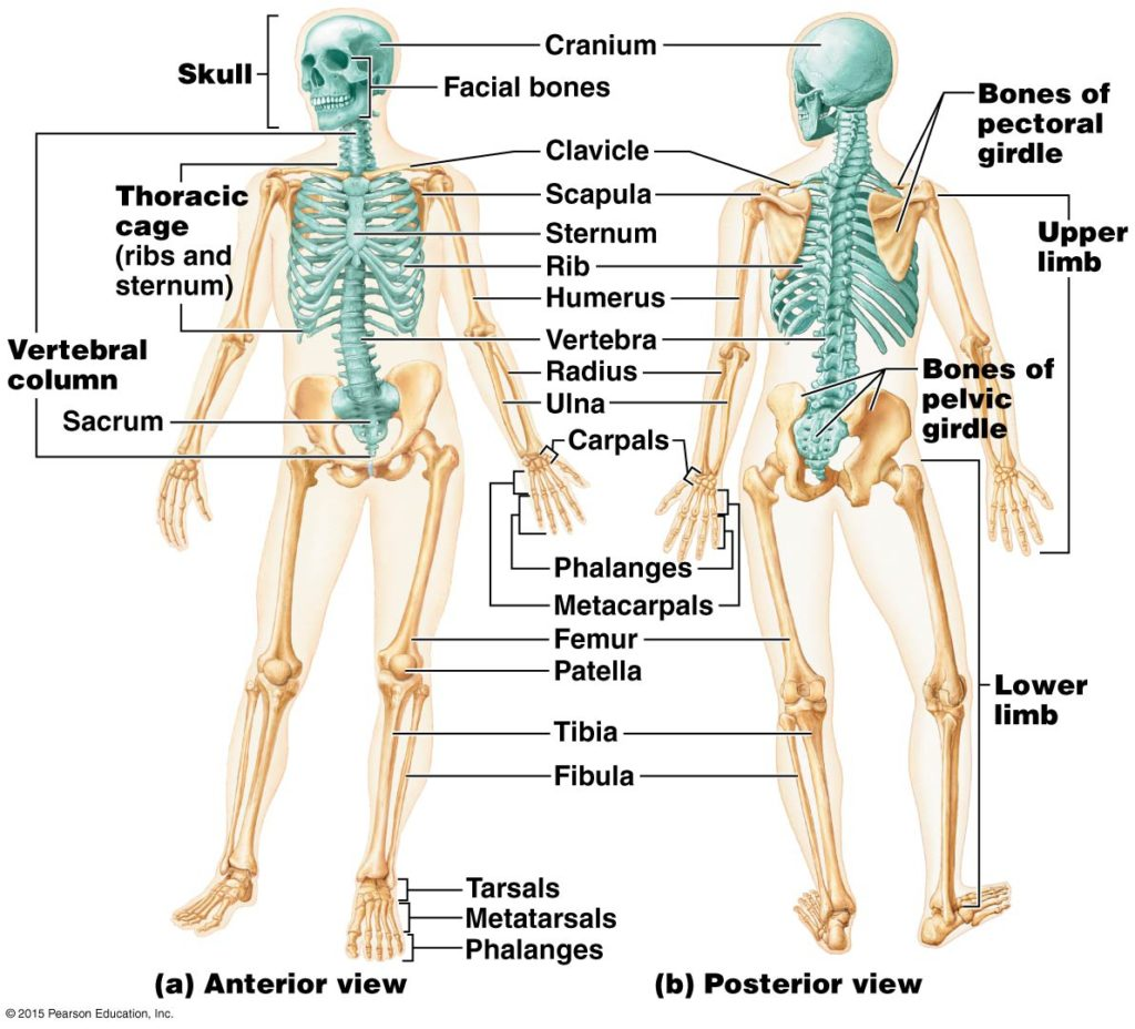 Skeletal System Morland Strength